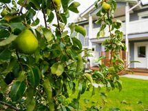 Takapihan päärynäpuu
