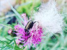 ohdakekuoriainen