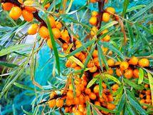 pihalla kasvaa mm. tyrnipensas