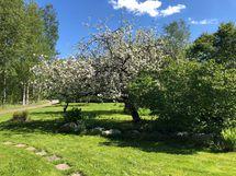 kukkivat omenapuut