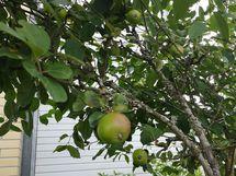 Omia omenoita