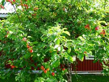 Takapihalla omenapuu