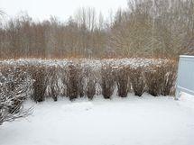 Suojaavat pensasaidat ja omat marjapensaat takapihalla