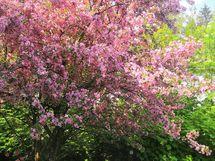 Takapihan koristeomenapuu