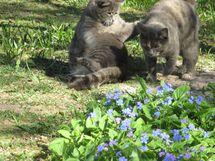 Keväällä kevätkaihonkukkia