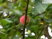 Omenat omasta puusta