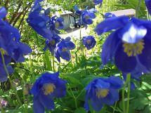 pihan kukkaloistoa kesäaikaan